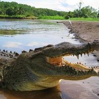 A krokodilus a Gangesz partján csücsül a farkán és spekulál