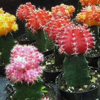 Kaktusz nevelése otthon