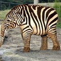 Zebrafánt