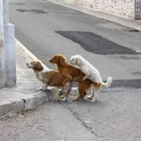 Kutya rakás