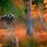 Mit keres nálunk a medve?