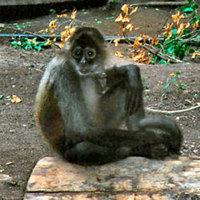 3 heréjű majmokat találtak Brazíliában.