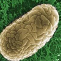 Baktériumgénekkel felszerelt rovarok és férgek