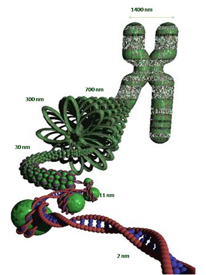 Kromoszóma