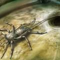 Rejtélyes pókszabásút konzervált a megkövesedett gyanta