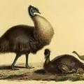 Golfpályával tették tönkre a törpe emu egyik legfontosabb lelőhelyét