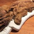 Több tízezer éve mumifikálódott állatkölykökről érkeztek hírek