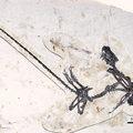 Újabb tollas dinoszaurusz kövületeire bukkantak Kínában
