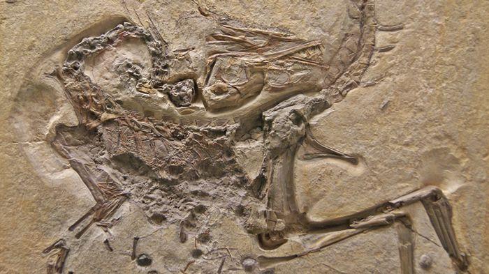 a_kelheimi_compsognathus-egyed_kovulete_wikimedia.jpg