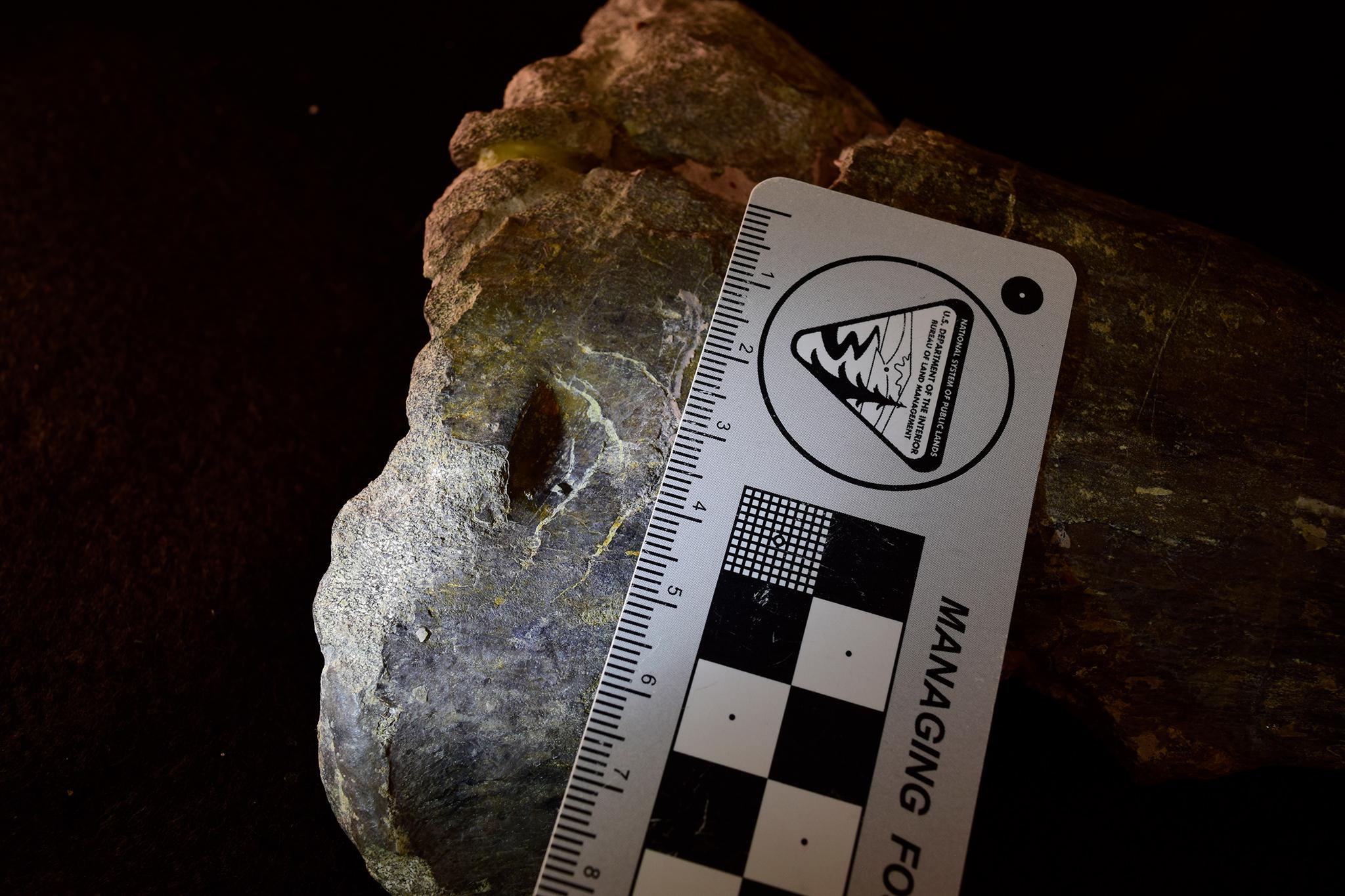 allosaurus-sipcsont_dr_stephanie_k_drumheller-horton.jpg
