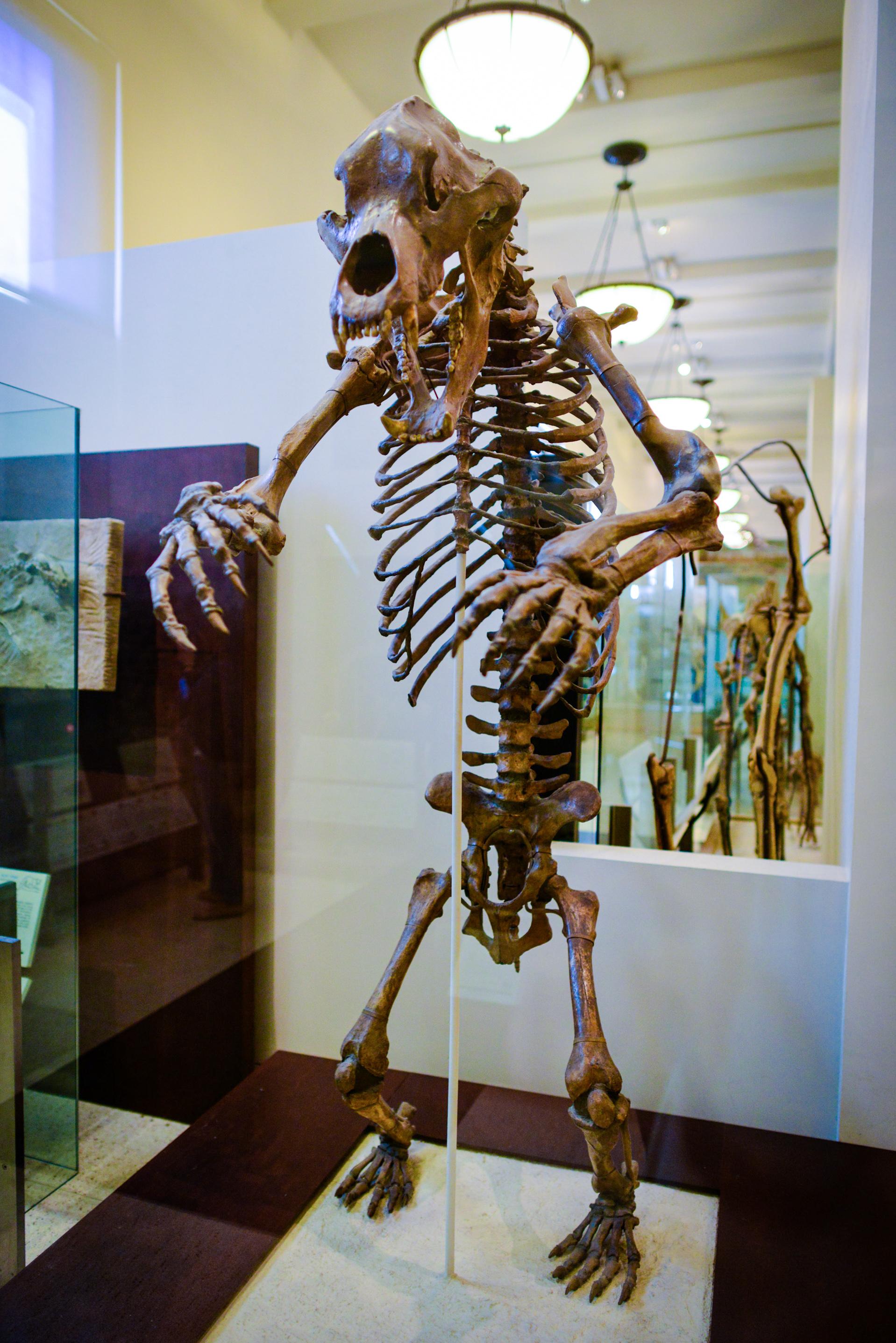 barlangi_medve_csontvaza_american_museum_of_natural_history.jpg