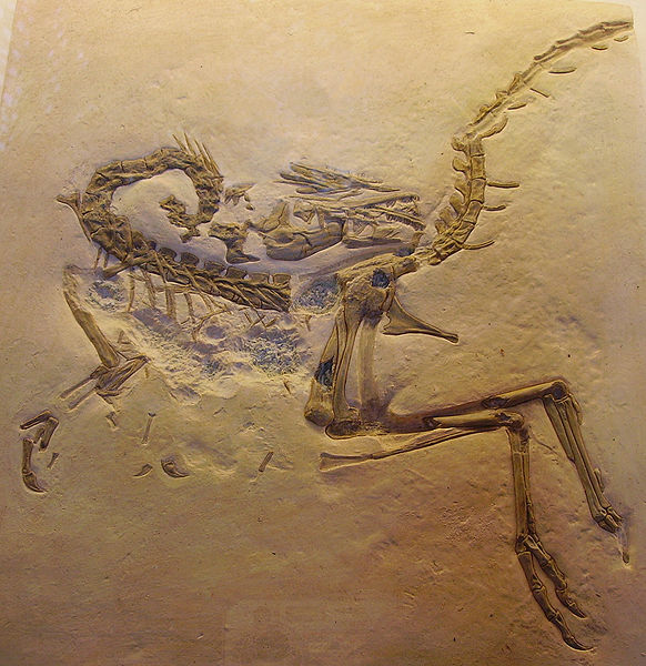 compsognathus_csontvaza_wikimedia.jpg