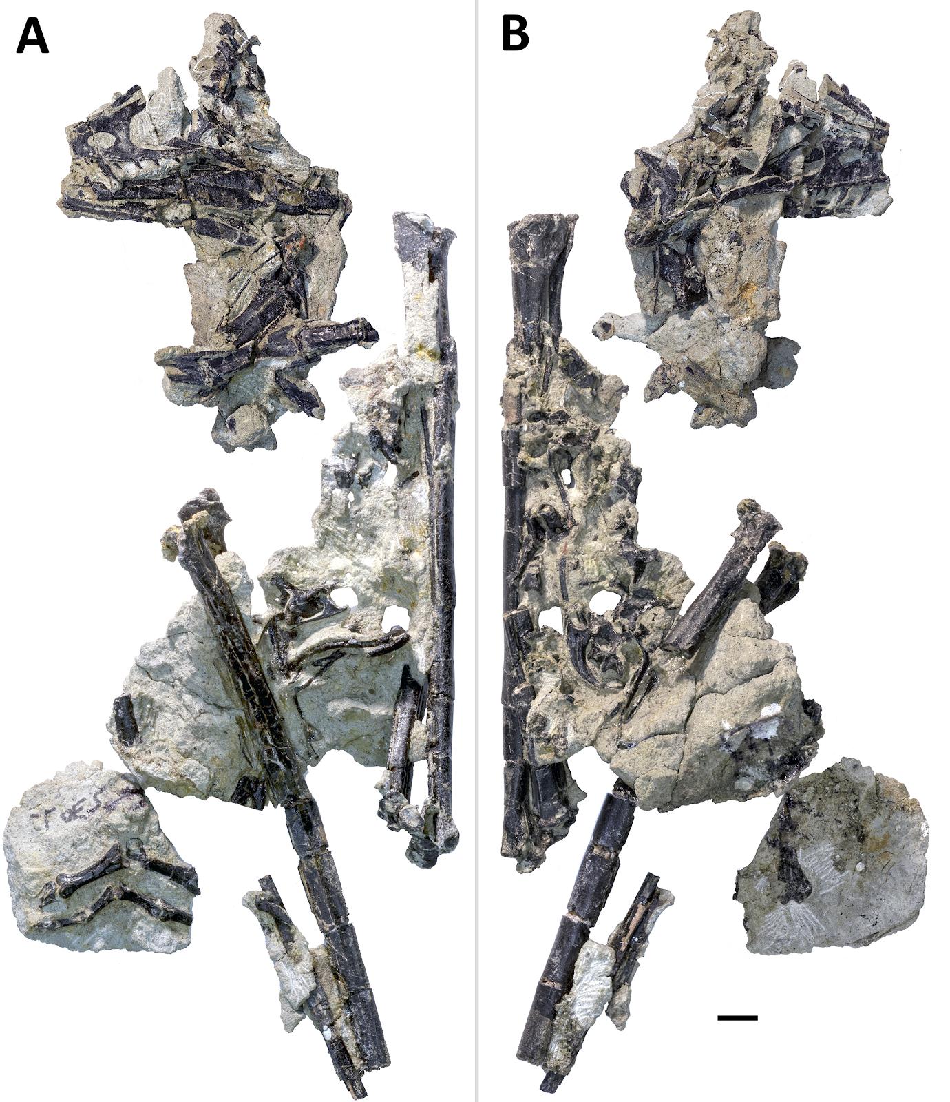 hesperornithoides-fossziliak_01_scott_hartman_tarsai.png