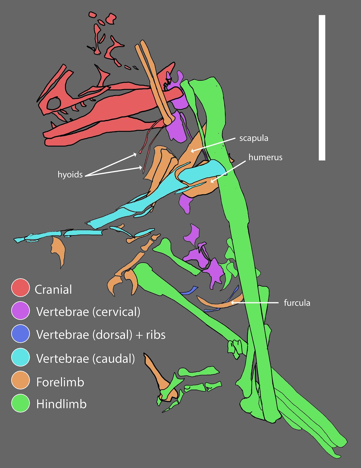 hesperornithoides-fossziliak_02_scott_hartman_tarsai.png