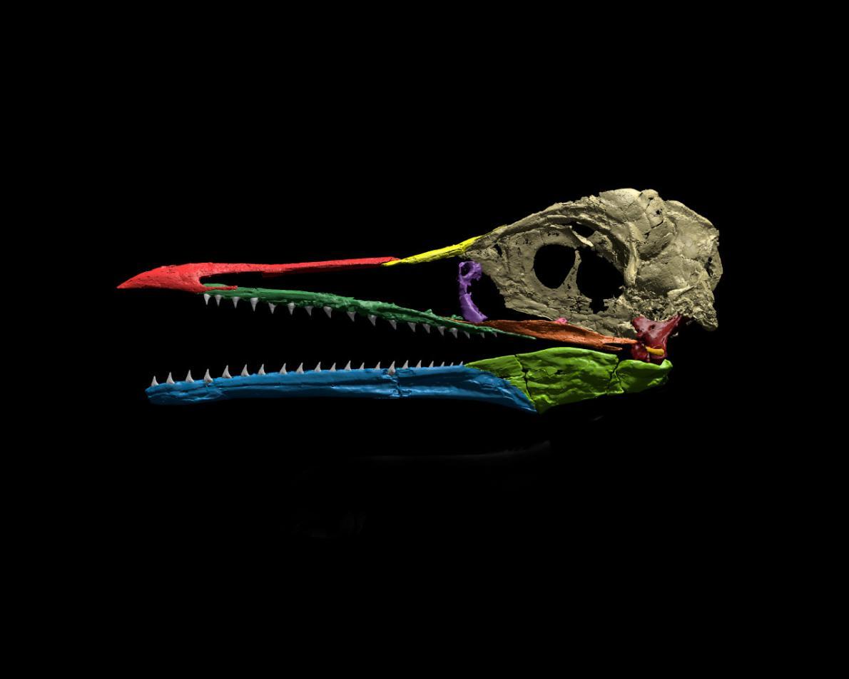 ichthyornis_koponya_daniel_j_field.jpg