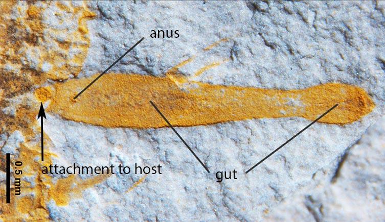inquicus_fellatus_fossziliaja_kozelrol_pejjun_cung_tarsai.jpg