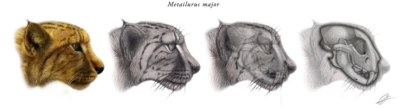 metailurus_major_hutzler_peter.jpg