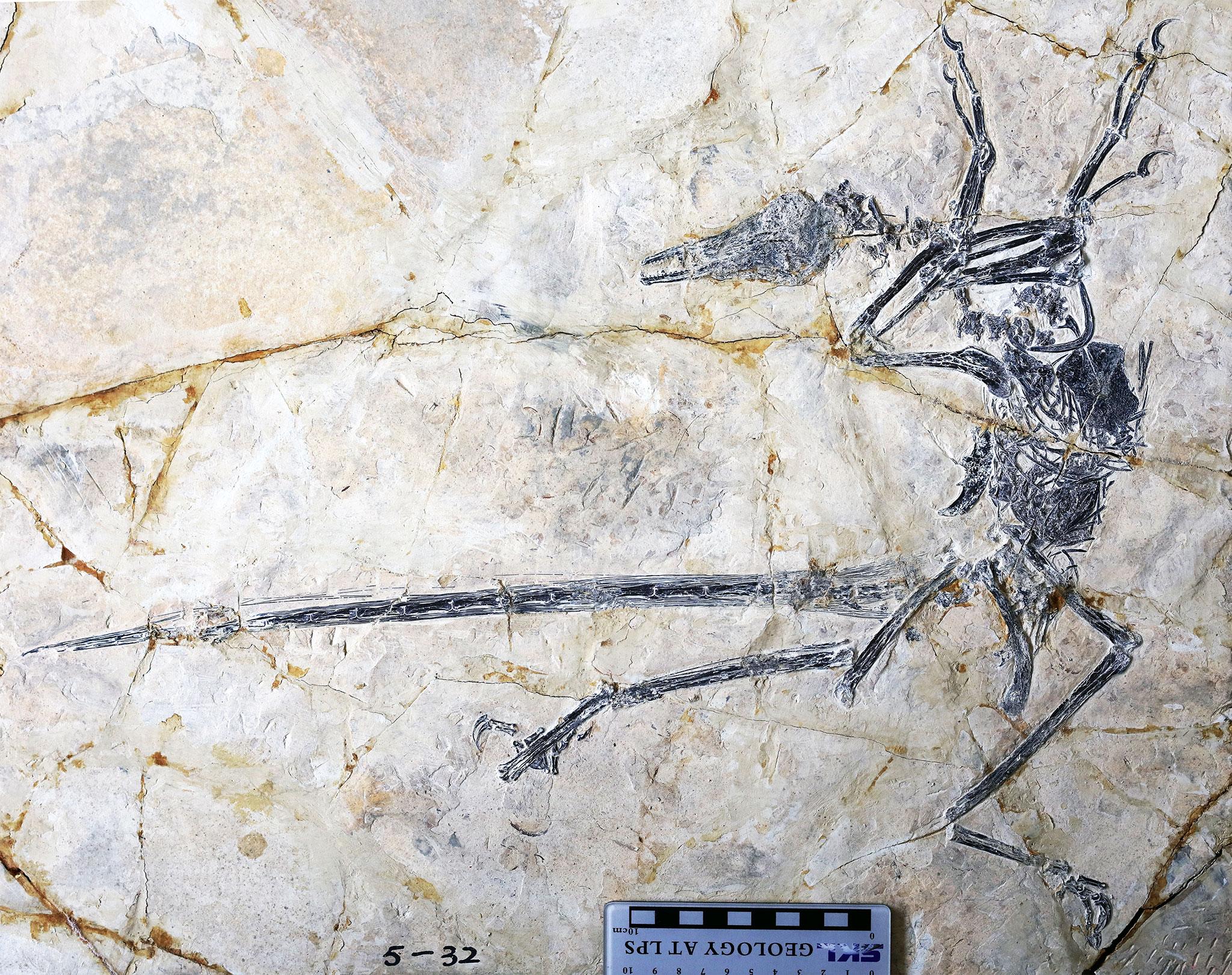 microraptor_kovulete_jingmai_o_connor_tarsai.jpg