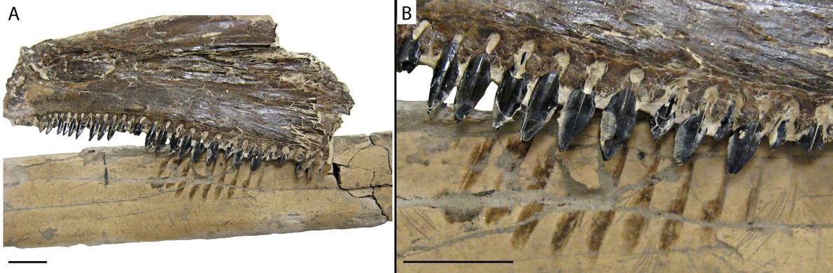 saurodon_fognyomok_a_pteranodon_csontjan_dana_ehret.jpg