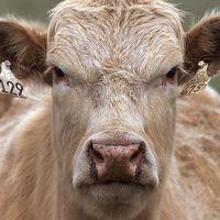 Az özvegy tehén bosszúja...avagy meghalunk a tejtől is...