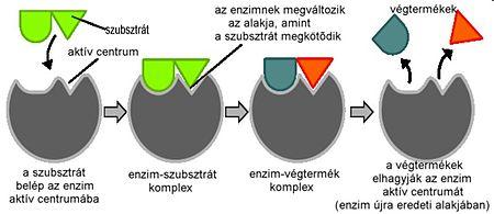 enzimmukdes.jpg