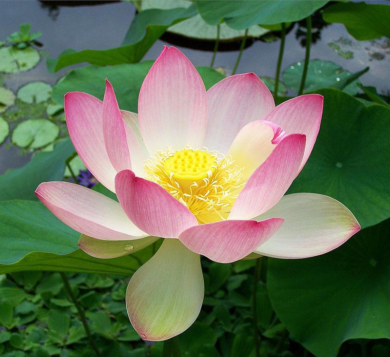 800px-sacred_lotus_nelumbo_nucifera.jpg