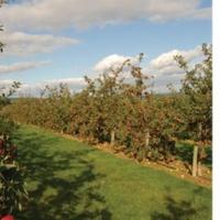 Almaborok vagy almasörök