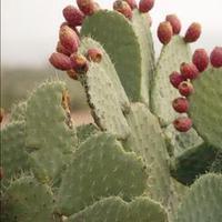 Kínában hódít a kaktuszbor