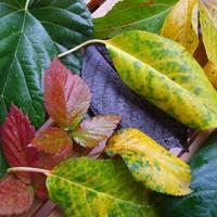 Miért színesednek meg a levelek ősszel?
