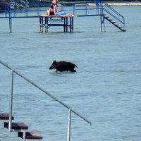 A Balatonban fürdőzött egy vaddisznó