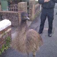 Rendőrök üldözték a szökött emut, lakásokba akart betörni