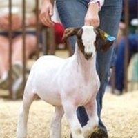Doppingolt a díjnyertes kecske!