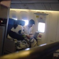 Diplomata panda az első osztályon utazik