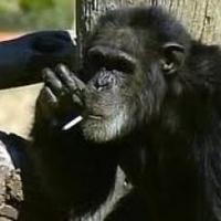 Durva: elpusztult a dohányzó amerikai majom