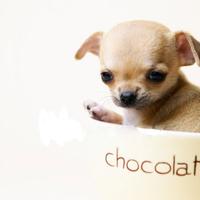 RÖVID SZŐRŰ CSIVAVA Chihuahua