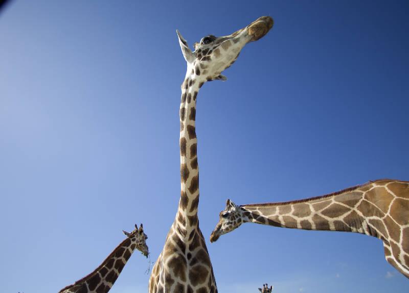 aptopix_baby_giraffe_calves_t800_hd7665b4fd3858653a7de8fa30c703924dd137880.JPG
