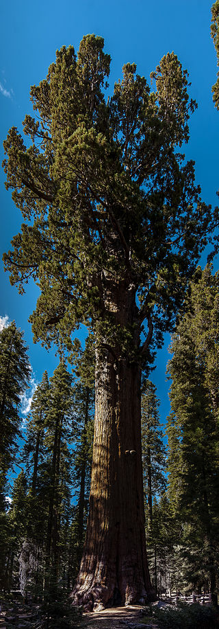 united_states_california_sequoia_national_park_general_sherman_tree_panorama.jpg