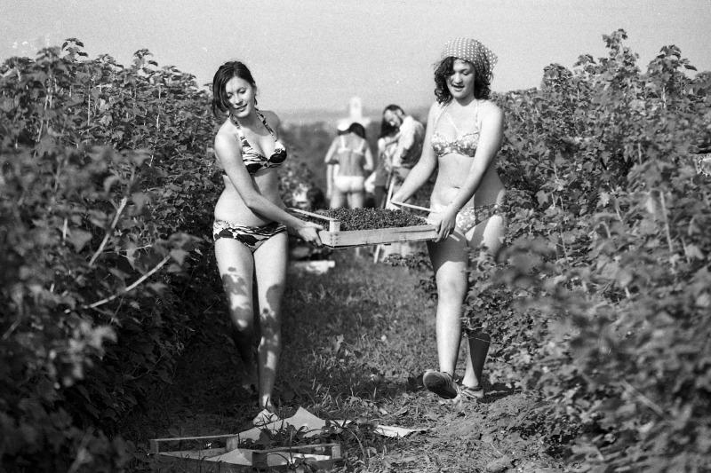 Ribizliszedés a balatonaligai KISZ-építőtáborban 1974-ben. Fotó: Urbán Tamás / Fortepan