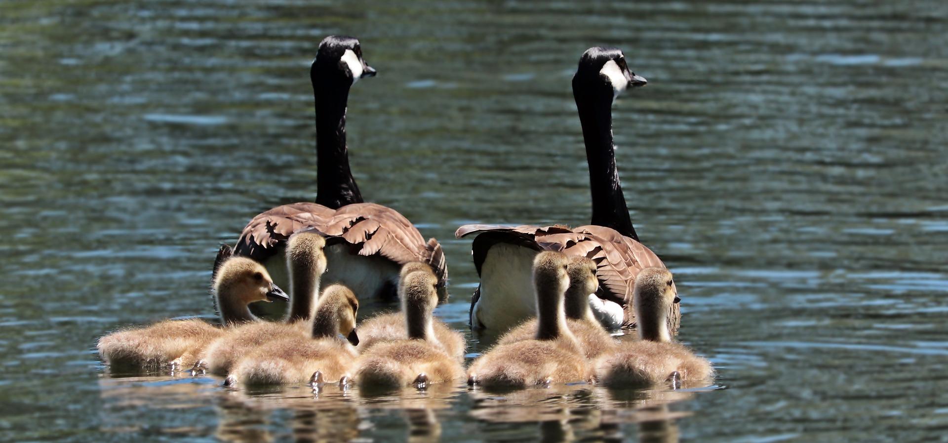 geese-2494952_1920.jpg