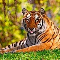 Beköszöntött a Tigris éve