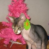 így készül egy szfinx cica a karácsonyra
