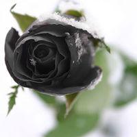Anyám fekete rózsa...