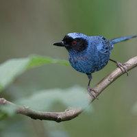 Az a bizonyos kék madár....