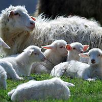 Jobb, ha a bárányok egymás közt maradnak. Ha egymást melegítik...