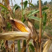 Kukoricatörés...