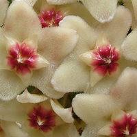 Hoya - Viaszvirág