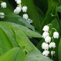 Május elseje a gyöngyvirág ünnepe...