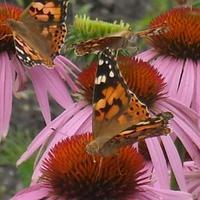 Pillangó invázió....