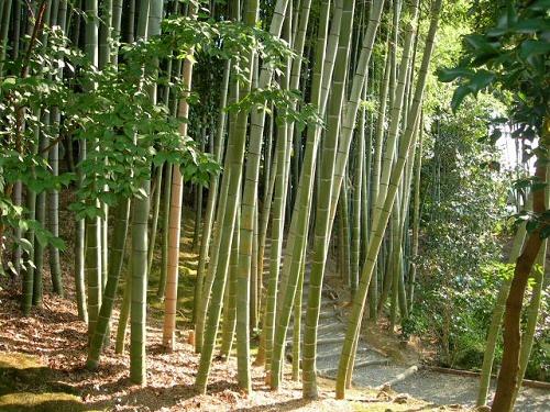 bambusz1.jpg