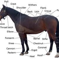 Esetem a nyelvtanári lóval